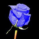 Blue Rose by Kerry  Hill