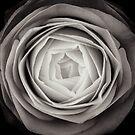 camellia by Sue Hammond