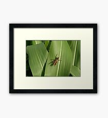 Grasshopper on corn leaf Framed Print