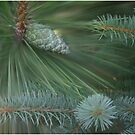 Blue Spruce and Pitch Pine  by Wayne King
