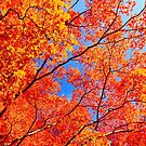 Autumn Leaves Blue Sky Fall Season Maple Trees by Beverly Claire Kaiya