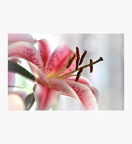 pink lilly Photographic Print