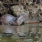 Otter by Alan Forder