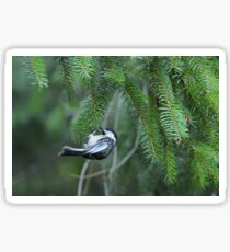 Chickadee & pine branches Sticker