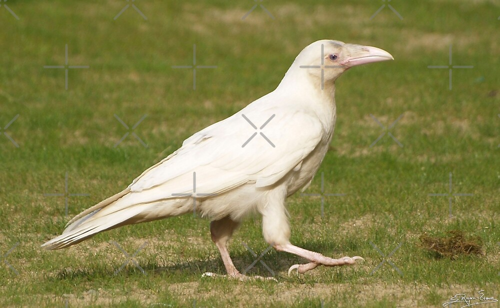 """""""Dare To Be Different"""" (Rare White Raven) by Skye Ryan-Evans"""