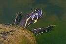 Florida Redbelly Cooter by WorldDesign