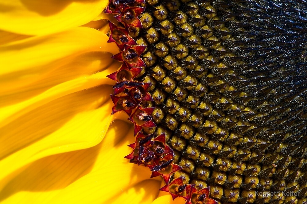 Sunflower Macro by Kenneth Keifer