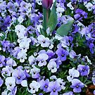 Hiding in the Pansies by Penny Smith