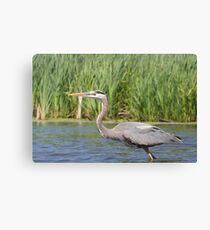 Great Blue Heron (Paddling' Pictures) Canvas Print