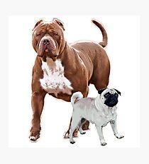 Pit bull pug 2 Photographic Print