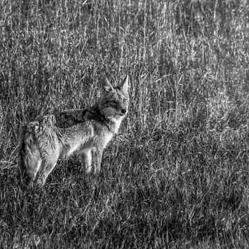 Setting Sun Coyote - BW by TheKav