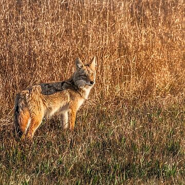 Setting Sun Coyote by TheKav