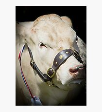 Prize Cow at a agriculture show Photographic Print