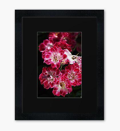 Lush Carpet Roses Framed Print