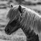 Icelandic Horse by Tomas Abreu