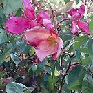 Mutabilis rose by jayview