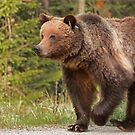 Grizzly bear by Philippe Widling