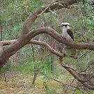 kookaburra sits ... by jayview