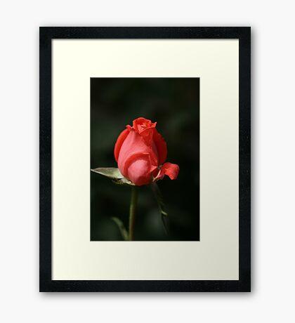 Love of the RED Rose Framed Print