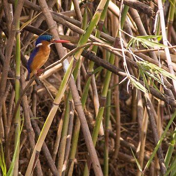 Malachite Kingfisher by babatim