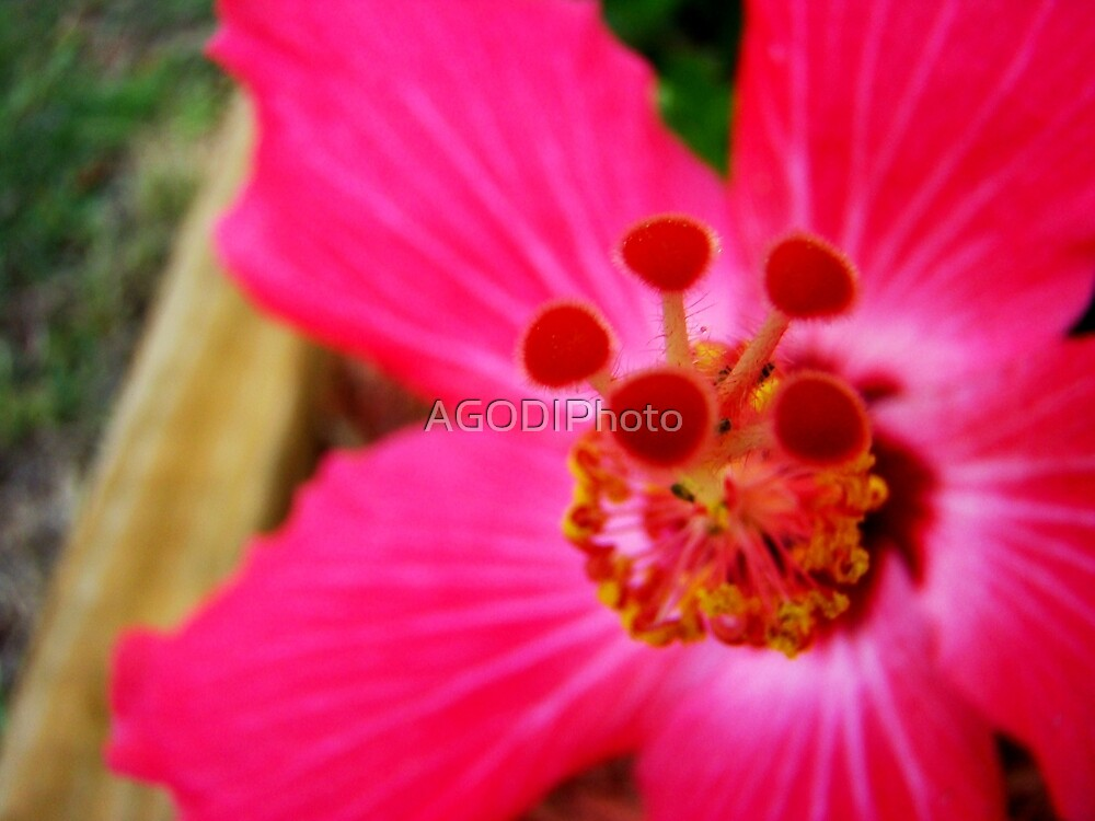 Hot Pink by AGODIPhoto