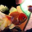 freshwater Gold fish by sebmcnulty