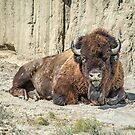 Buffalo at Theodore Roosevelt National Park by Jerry Walter