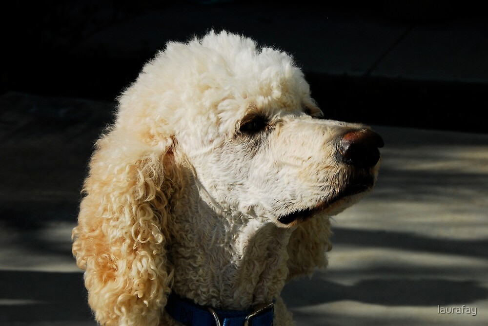 standard poodle 1 by laurafay