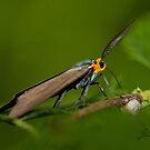 The Virginia  Ctenuchid Moth by DigitallyStill