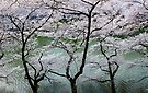 Cherry Blossoms in Japan by Frank Kletschkus