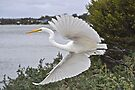 Eastern Great Egret by Ian Berry