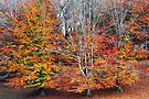 Autumn Beeches by cclaude