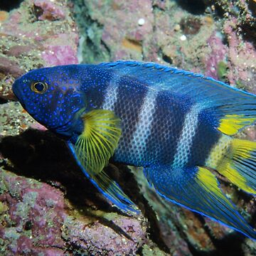 Eastern Blue Devil off Sydney by eschlogl