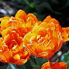 Orange Princess Tulips by Terri~Lynn Bealle