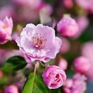 Apple Blossom time by PhotosByHealy