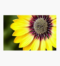 Yellow Osteospermum - Macro Flowers Photographic Print