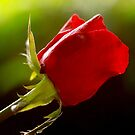 one rose, one love, one heart by lensbaby