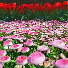 Tulip Top Gardens  by Candy Jubb