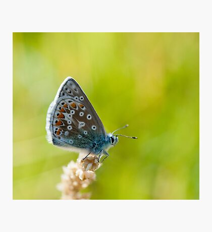 Common Blue Butterfly Photographic Print