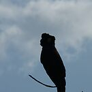 Yellow-tailed Black-Cockatoo Silhouette by Trish Meyer