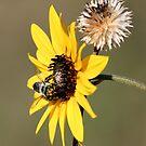 Bee Landing On Sunflower by Lori Peters
