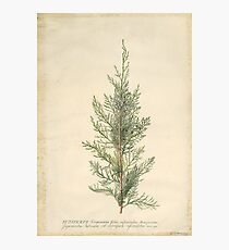 Vintage Botanical Juniper Branch Photographic Print