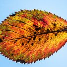 Lantern leaf by MisterD