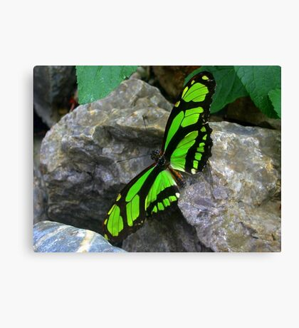 Green butterfly  on Rock Canvas Print