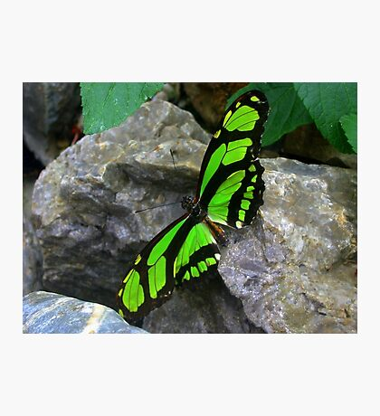 Green butterfly  on Rock Photographic Print