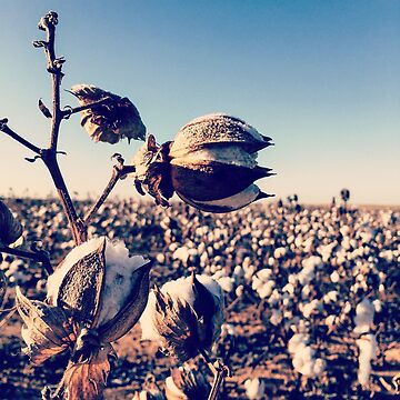Fields of Cotton by chasensmith