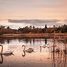 Swans by Svetlana Sewell