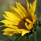 Windswept Sunflower by Lori Peters