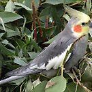 Cockatiel : Nymphicus hollandicus by Trish Meyer