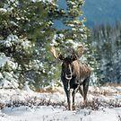 Canadian Western Bull Moose by George Wheelhouse